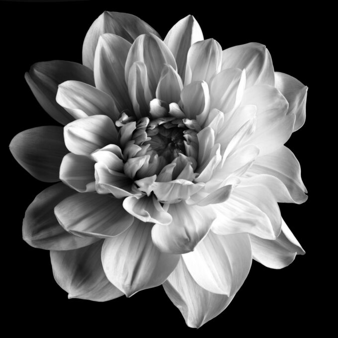 Fine art print of a dahlia - DELIGHT
