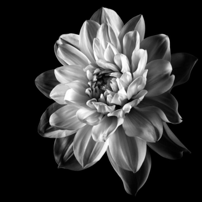 Fine art print of a dahlia - DEVOTED