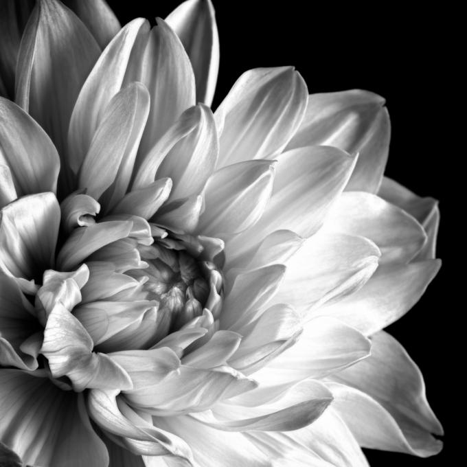 Fine art print of a dahlia - FIDELITY